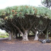 Location: Dragon tree (Dracaena draco) in the Museu do Vinho do Pico, estimated at between 500-1000 years old, Lagido, Santa Luzia, municipality of São Roque do Pico, Pico, Azores (Portugal)Date: 2010-08-21Photo courtesy of:José Luís Ávila Silveira/Pedro Noronha e Cos