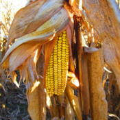 Location: central IllinoisDate: 2014-11-01Field corn ready to harvest