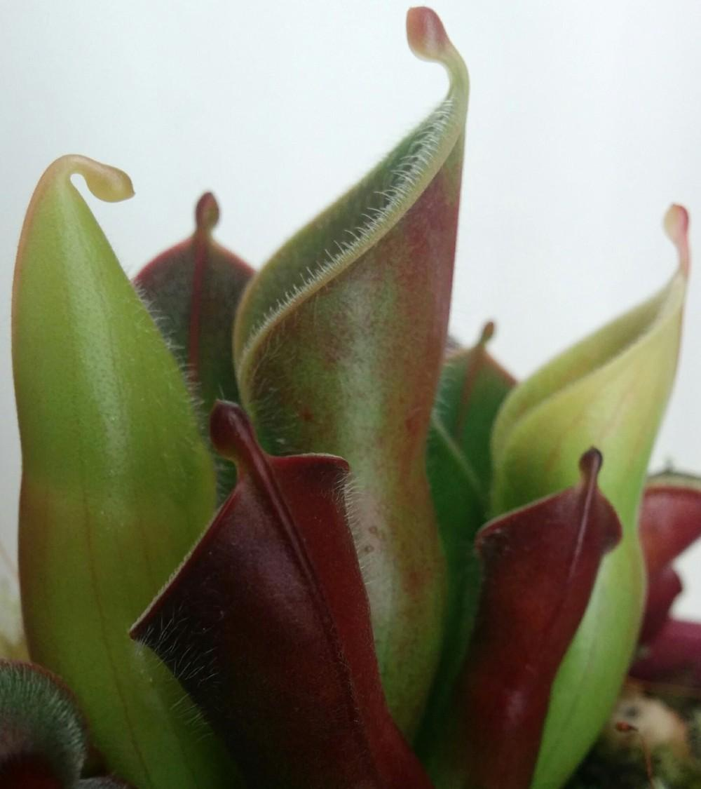 Photo of Heliamphora (Heliamphora minor var. pilosa) uploaded by Maiden
