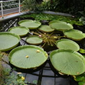 Location: Victoria amazonica in Botanical garden Brno glasshouse.CZDate: 2009-10-04Photo courtesy of:Frettie