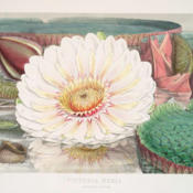 Victoria Regia : or, Illustrations of the Royal water-lily, in a