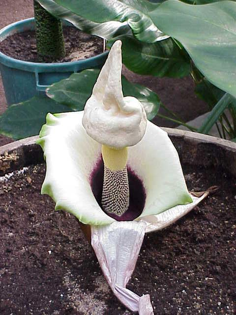 Photo of Voodoo Plant (Amorphophallus prainii) uploaded by admin
