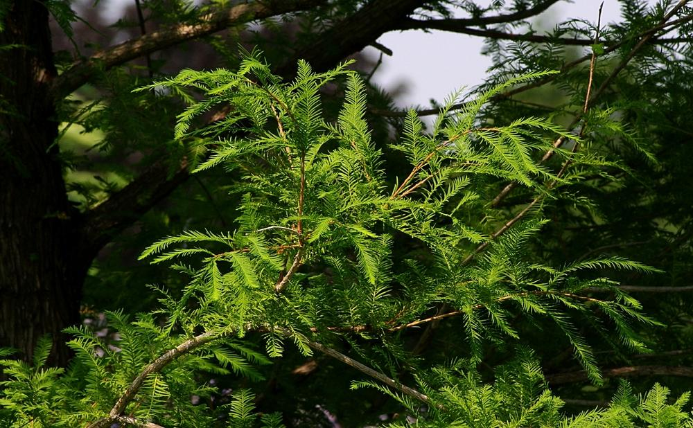Photo of Bald Cypress (Taxodium distichum) uploaded by dirtdorphins