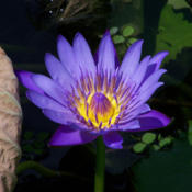 Location: It has brighter violet-blue flowers than the water lilies 'Director G.T.Moore' and 'King of the Blues'.Date: 2008-07-14Photo courtesy of: T.Voekler