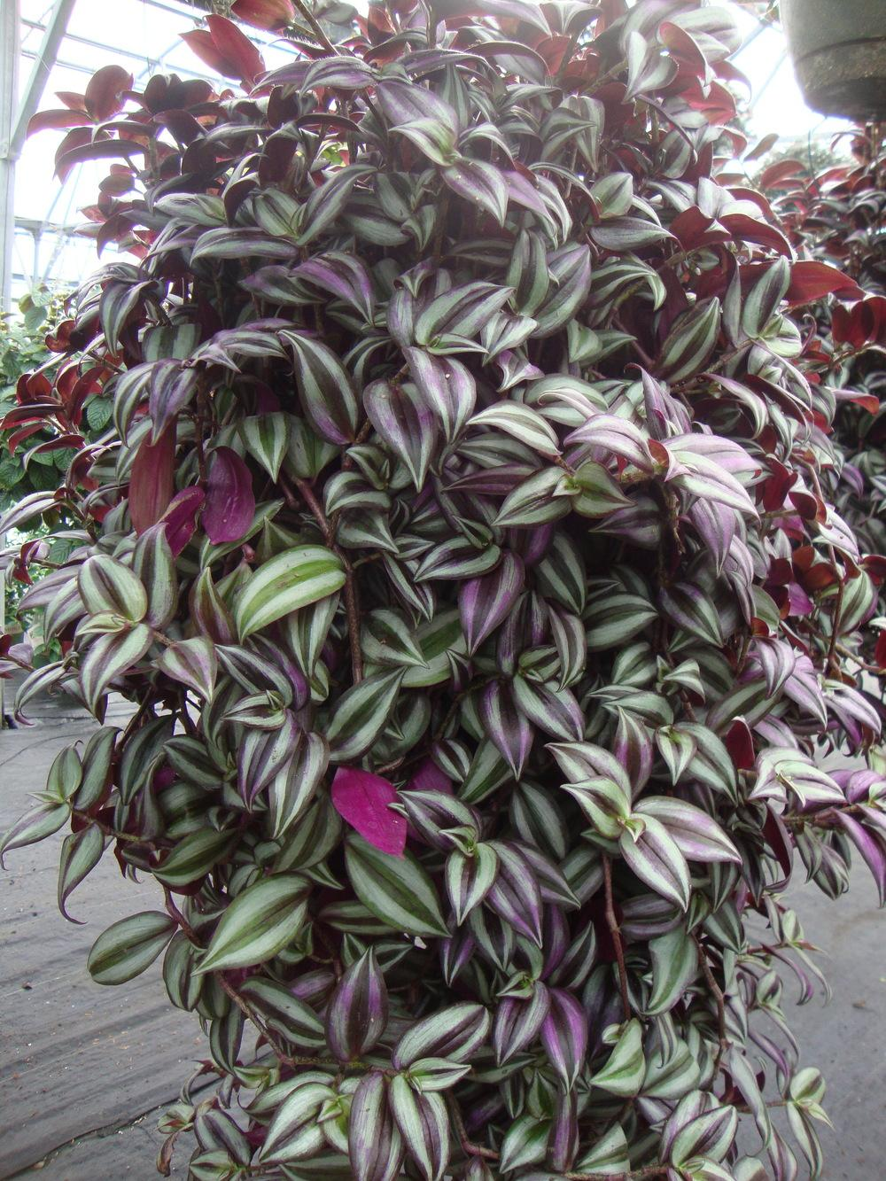 Photo of the entire plant of Inch Plant (Tradescantia ... on sanguineum plant, iresine plant, traveling jew plant, sedum plant, vriesea plant, rubra plant, kalanchoe plant, purple wandering jew plant, wandering jude plant, oxalis plant, walking jew plant, zebra plant, wandering jew house plant, creeping fig plant, rhoeo plant, codiaeum plant, balloon plant, philodendron plant, schefflera plant,