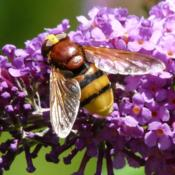 Location: Dordogne, FranceDate: 2009-08-17Photo courtesy of:  Père Igor  Volucella zonaria sur buddleia