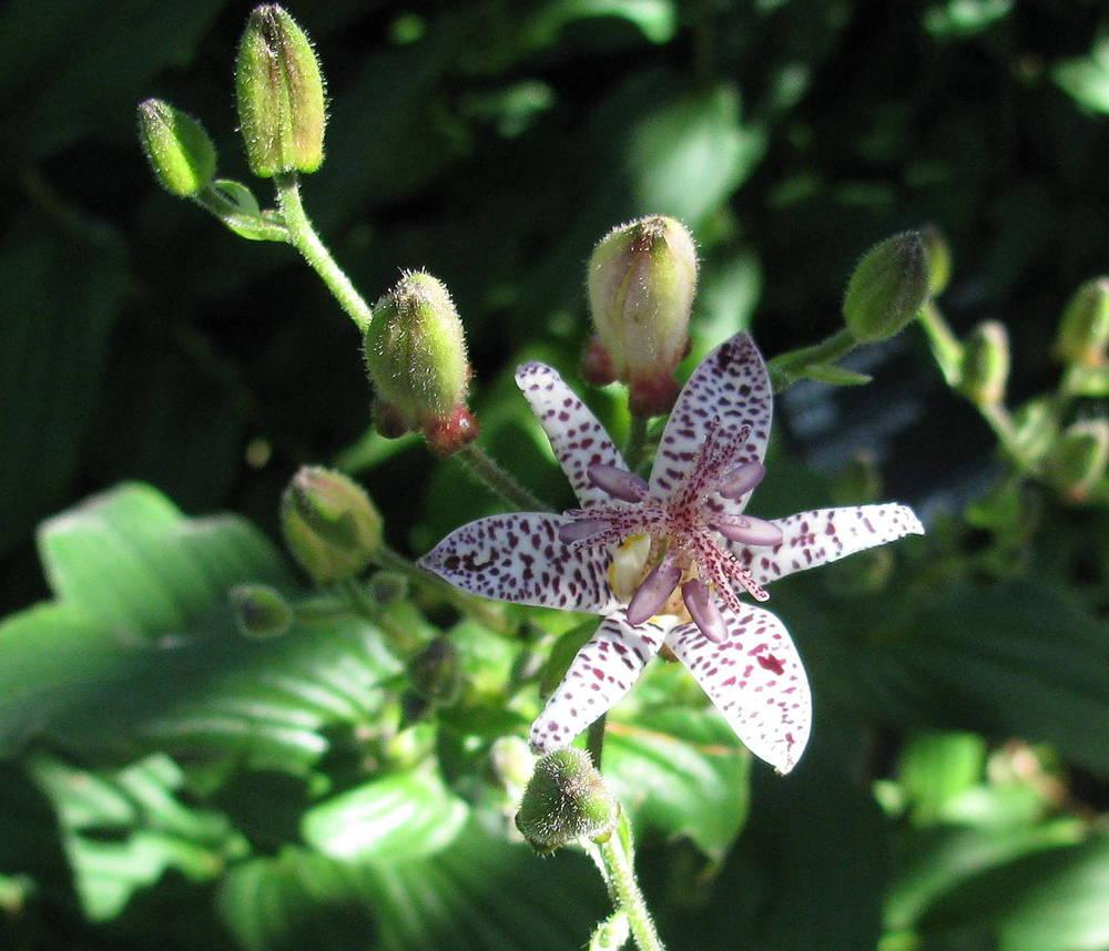 Photo of Toad Lilies (Tricyrtis) uploaded by jmorth