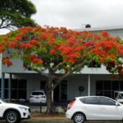 Location: Cleveland, Queensland, Australia.Date: 2014-11-20Royal Poinciana is flaming the streets in late spring in southeas