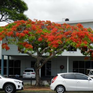 Royal Poinciana is flaming the streets in late spring in southeas