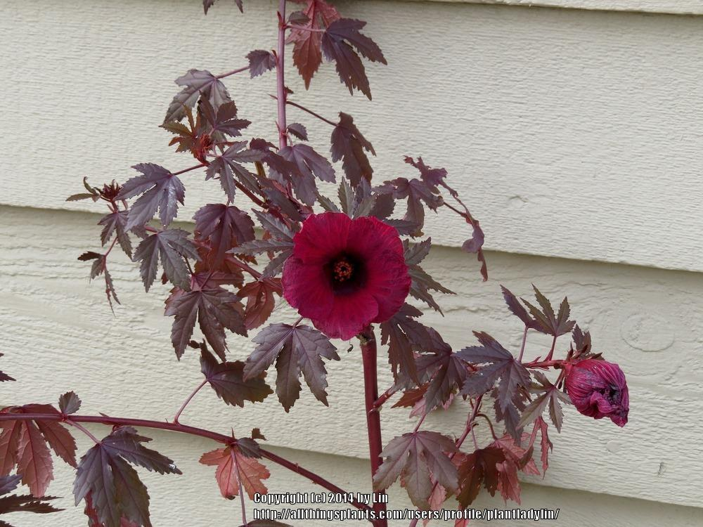 Photo of Red-Leaf Hibiscus (Hibiscus acetosella) uploaded by plantladylin