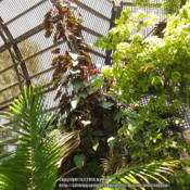 Location: San Diego, California Date: 2013-08-16 Growing in Lath House at Balboa Park, San Diego