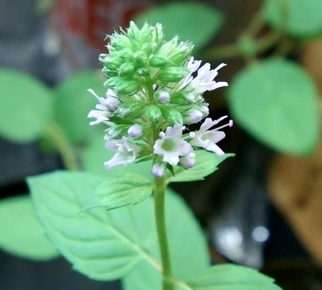 Photo of Chocolate Mint (Mentha x piperita 'Chocolate') uploaded by alex22ccc