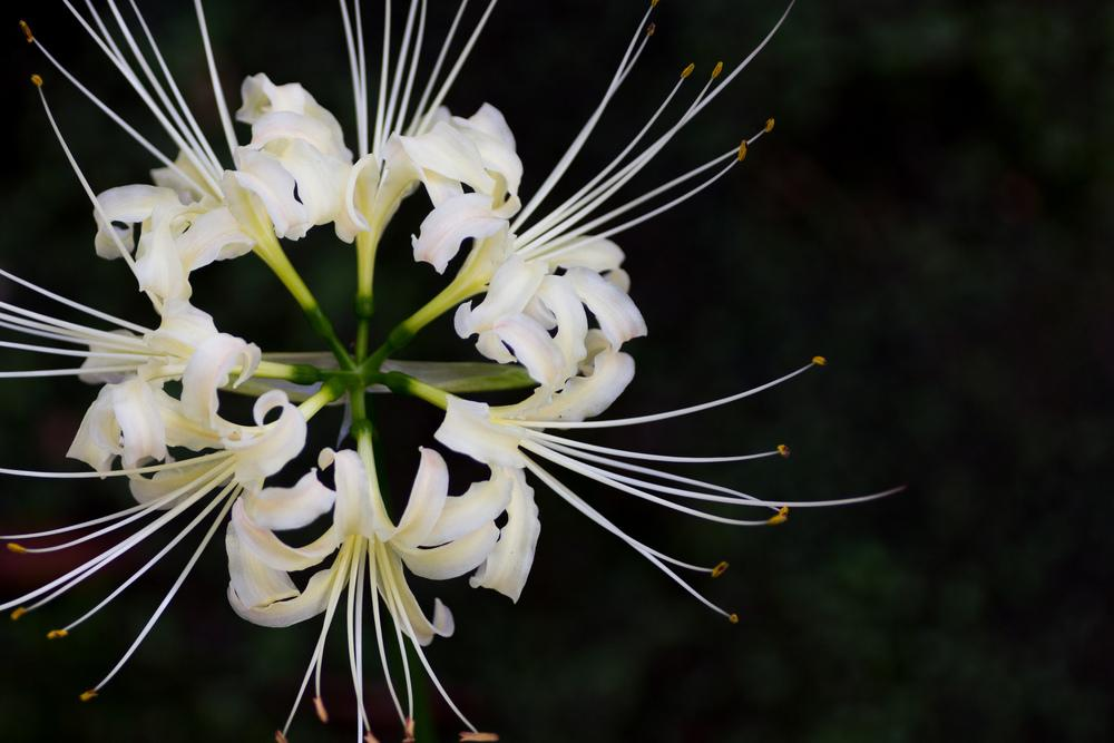 Photo of Red Spider Lily (Lycoris radiata) uploaded by admin