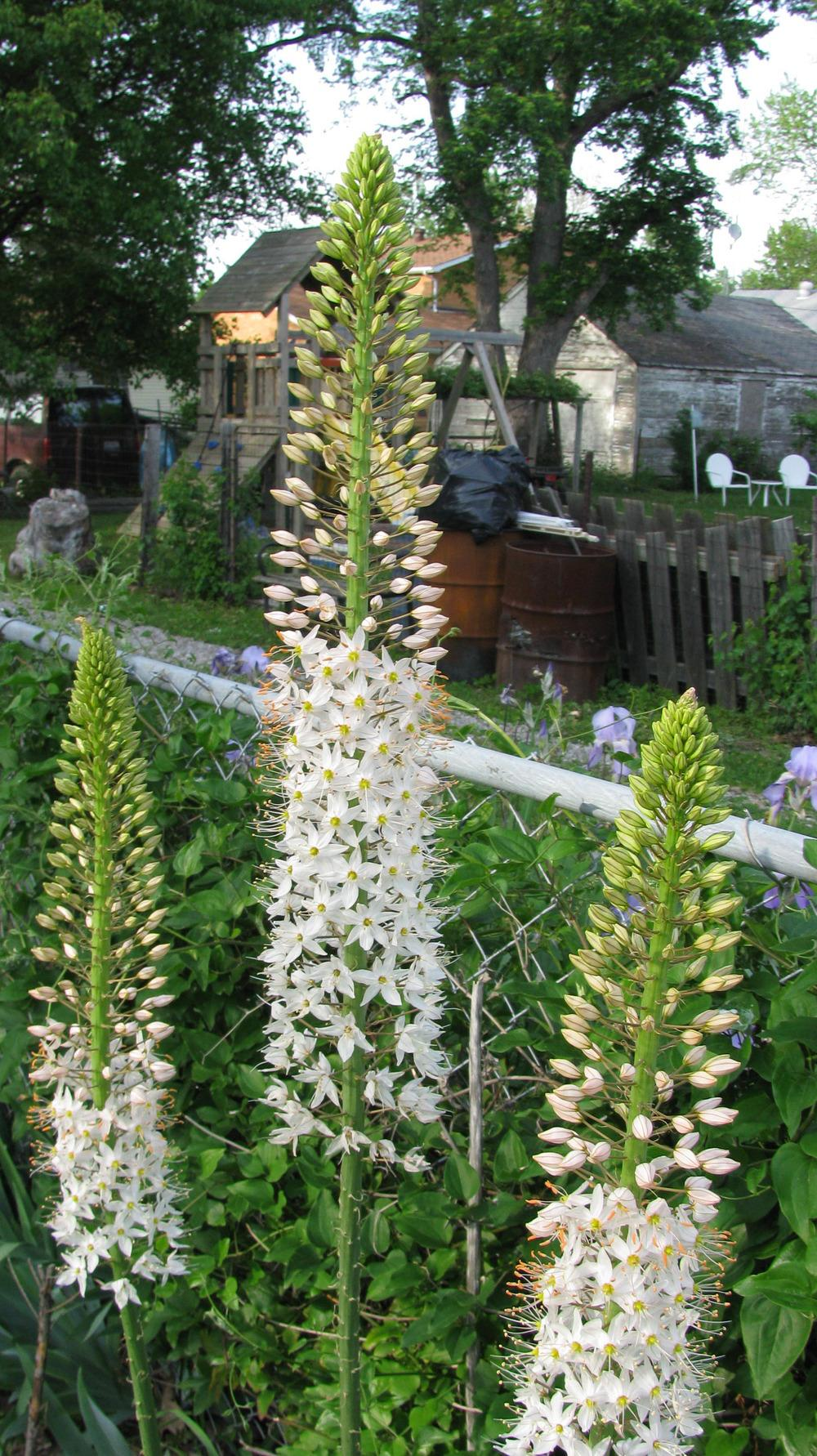 Photo Of The Bloom Of Foxtail Lily Eremurus Himalaicus Posted By