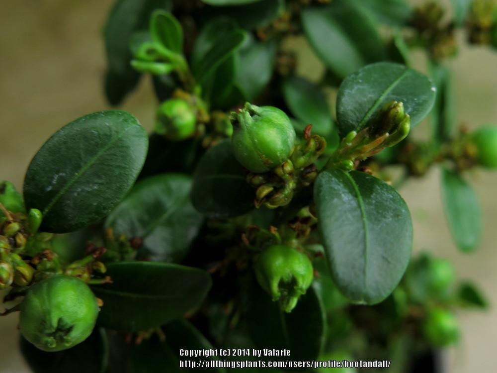 Photo of Common Boxwood (Buxus sempervirens) uploaded by bootandall