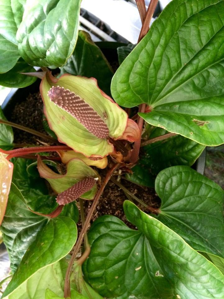 Photo of Anthuriums (Anthurium) uploaded by BayouBeadery