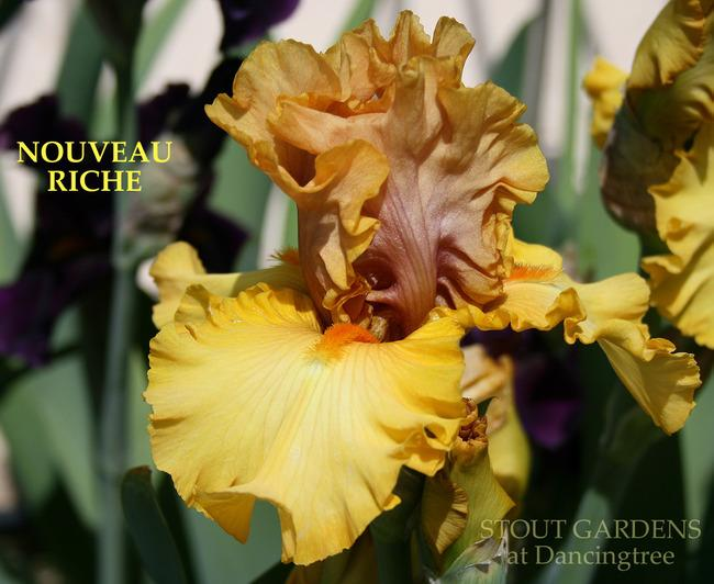 Photo of Tall Bearded Iris (Iris 'Nouveau Riche') uploaded by Calif_Sue