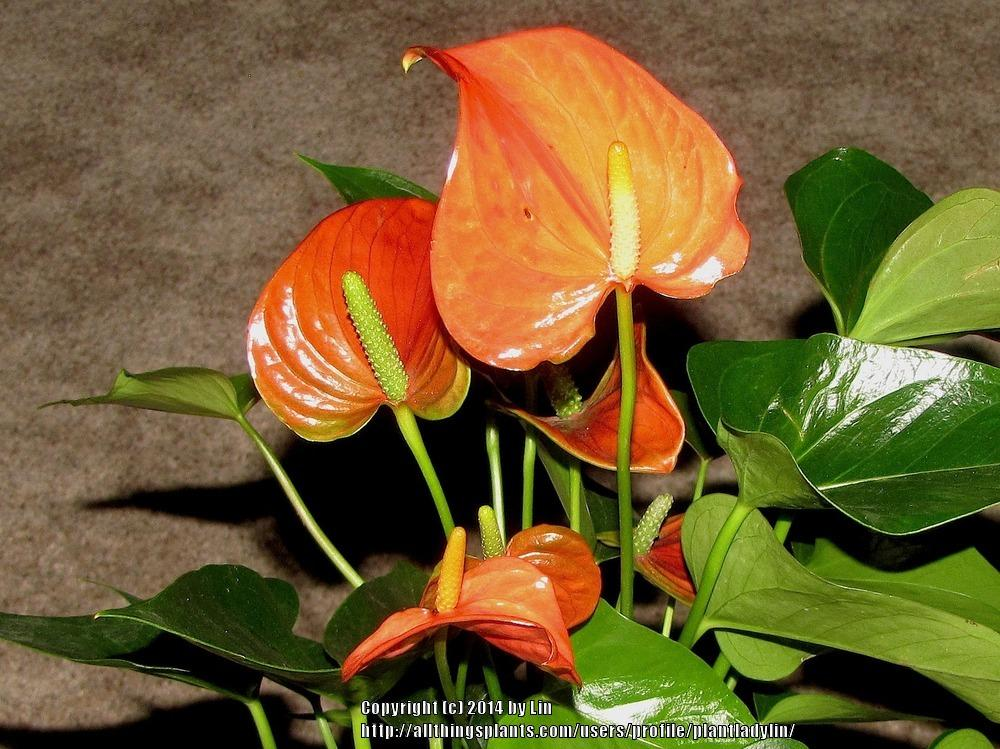 Photo of Anthuriums (Anthurium) uploaded by plantladylin