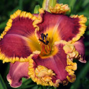 Photo courtesy of Nicole's Daylilies