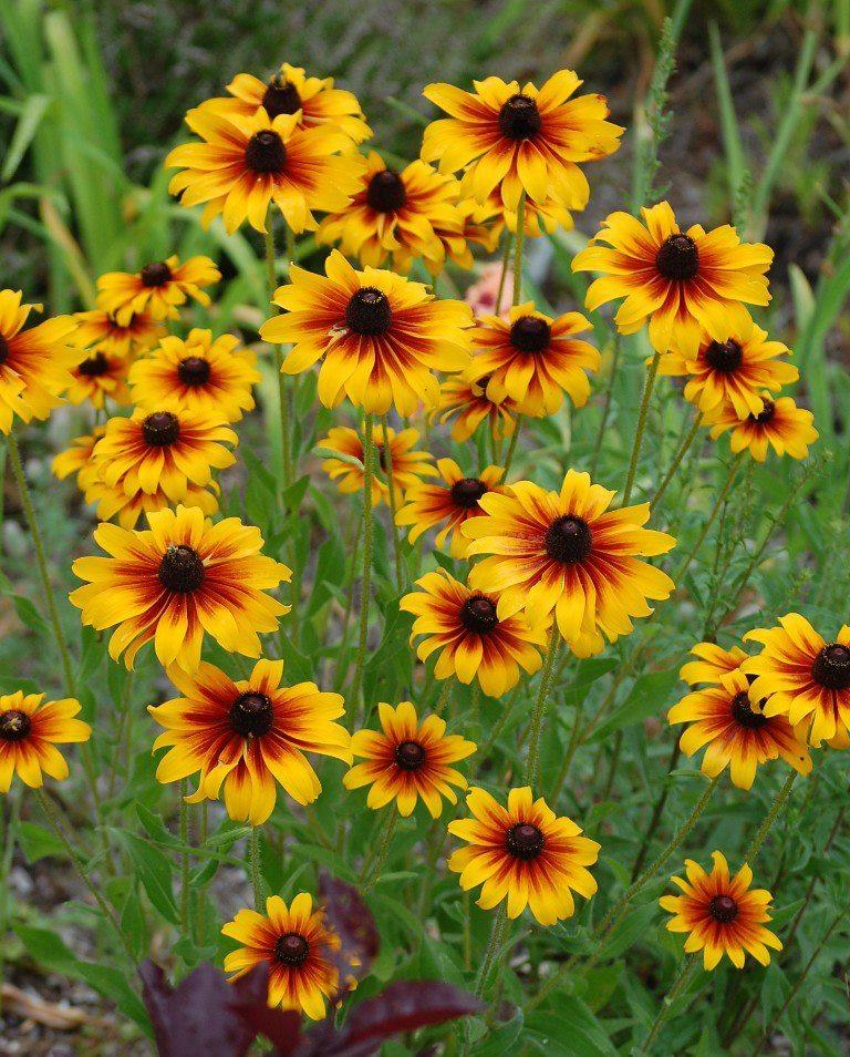 Photo of Black Eyed Susans (Rudbeckia) uploaded by pixie62560