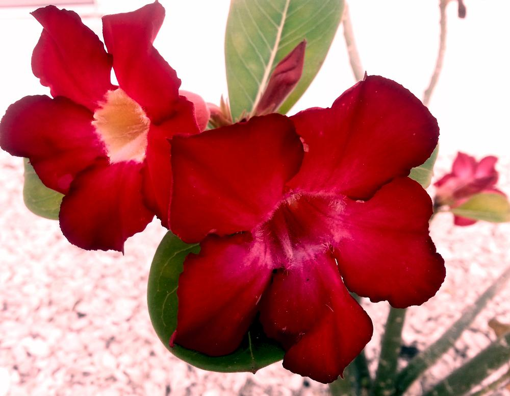 Photo of Desert Rose (Adenium obesum) uploaded by karmatree