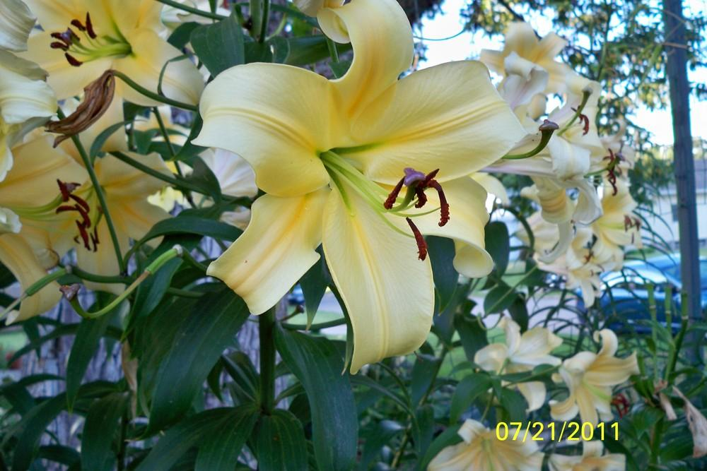 Photo of Lilies (Lilium) uploaded by Pattyw5