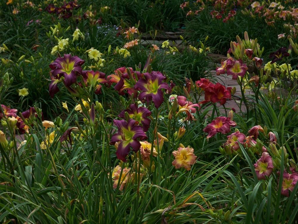 Photo of Daylilies (Hemerocallis) uploaded by Pattyw5