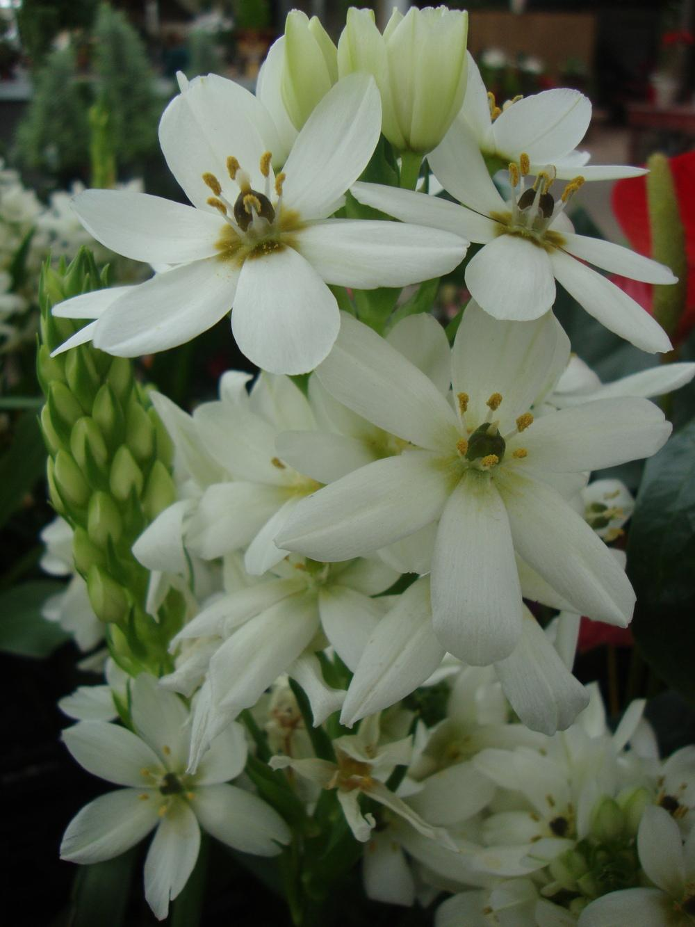 Photo of Giant Chincherinchee (Ornithogalum saundersiae) uploaded by Paul2032