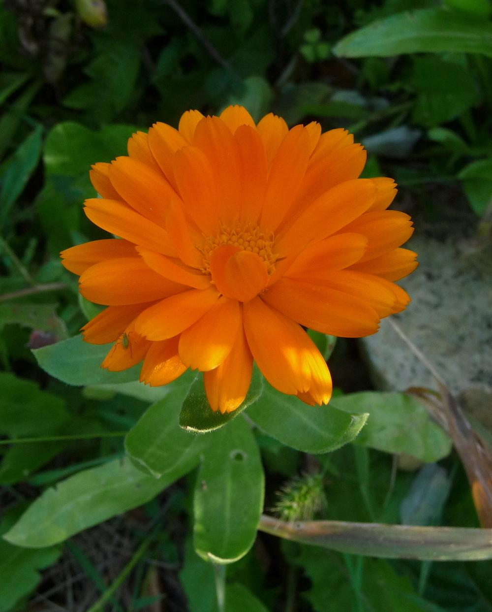 Photo of Calendula uploaded by gardengus