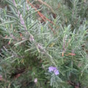 Location: Gulf-coast TexasDate: 2014-12-07Rosemary Blooming in Texas
