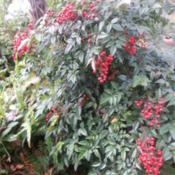 Location: Gulf-coast TexasDate: 2014-12-07Nandina in Full Berry Today