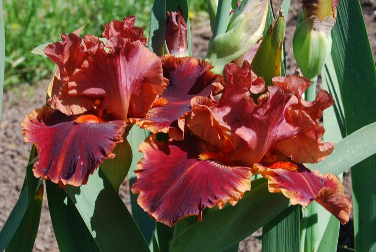 Photo of Tall Bearded Iris (Iris 'Drinks at Sunset') uploaded by Calif_Sue