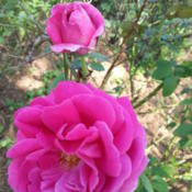 Location: Gulf-coast TexasDate: 2014-05-11Shrub rose from Texas Antique Roses