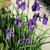 Location: Gulf-coast TexasDate: 2014-05-11Siberian Iris
