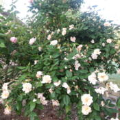 Location: Gulf-coast TexasDate: 2014-04-23Shrub Rose in Bloom