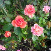 Location: Gulf-coast TexasDate: 2014-04-23Tea Rose