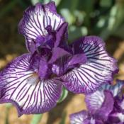 Photo courtesy of Winterberry Iris Gardens