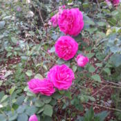 Location: Gulf-coast TexasDate: 2014-05-11Antique Shrub Rose