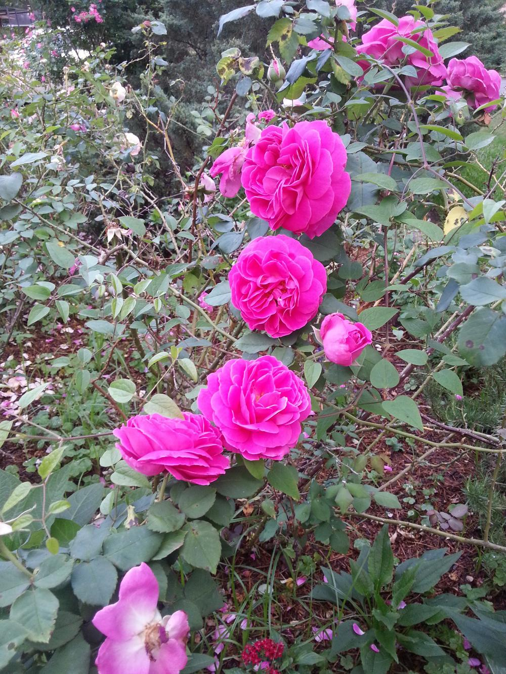 Photo of Roses (Rosa) uploaded by value4dollars