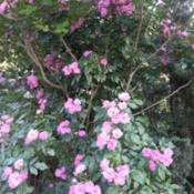 Location: Gulf-coast TexasDate: 2014-05-11Antique Climbing Rose