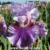 Date: 2009-05-27Photo courtesy of Napa Country Iris Garden