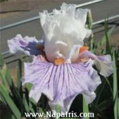 Date: 2013-04-25Photo courtesy of Napa Country Iris Garden