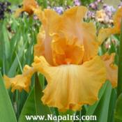 Date: 2003-05-16Photo courtesy of Napa Country Iris Garden