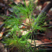 Location: Eastern White Pine Pinus strobus seedling a few years old, Appalachian Park, Northampton County, Pennsylvania.Date: 2013-01-14Photo courtesy of: Nicholas A. Tonelli
