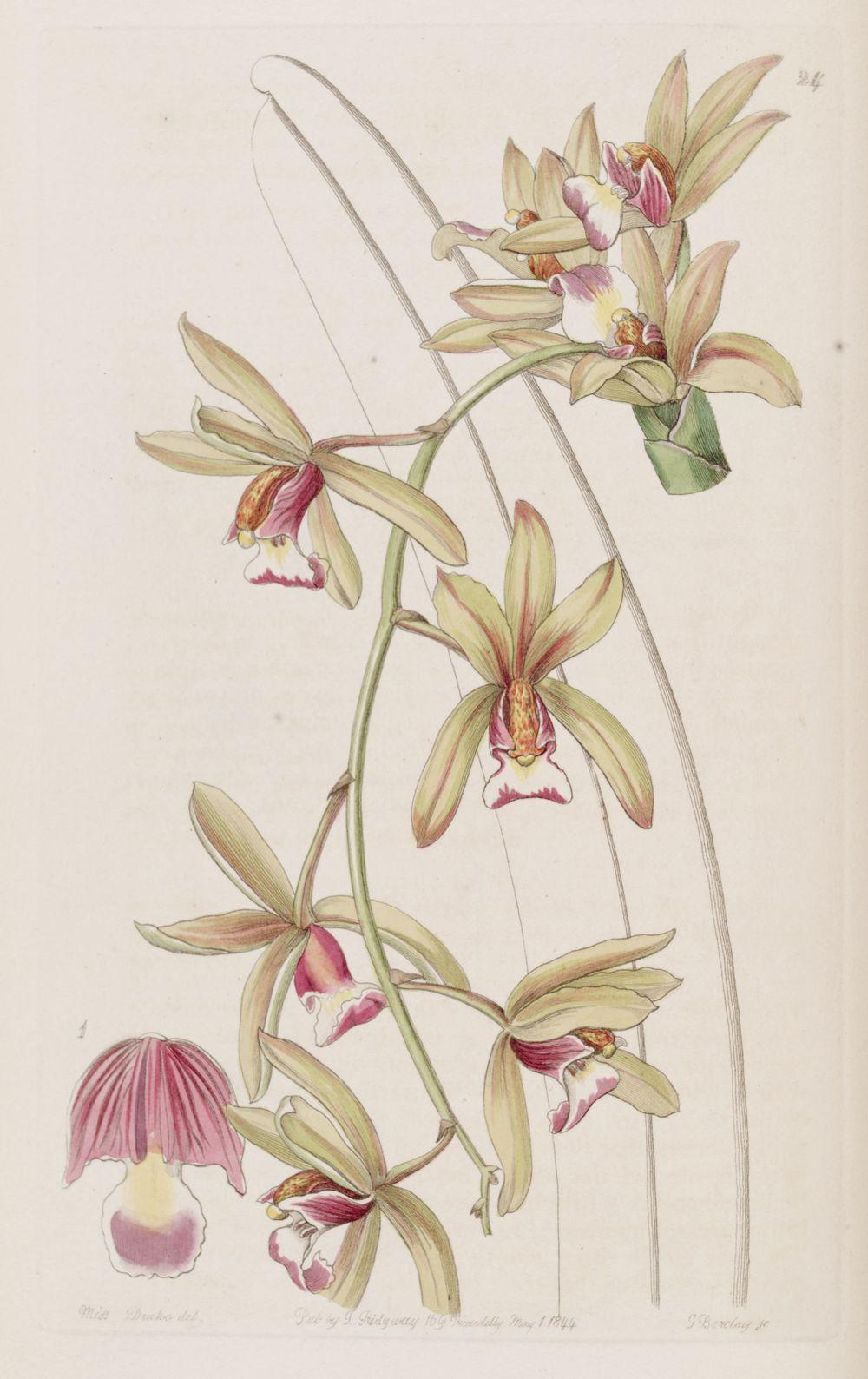 Photo of Aloe-Leafed Cymbidium Orchid (Cymbidium aloifolium) uploaded by admin