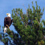 Location: A Bald Eagle in an Eastern White Pine in Minocqua, Wisconsin, USADate: 2011-07-25Photo courtesy of:  John Picken