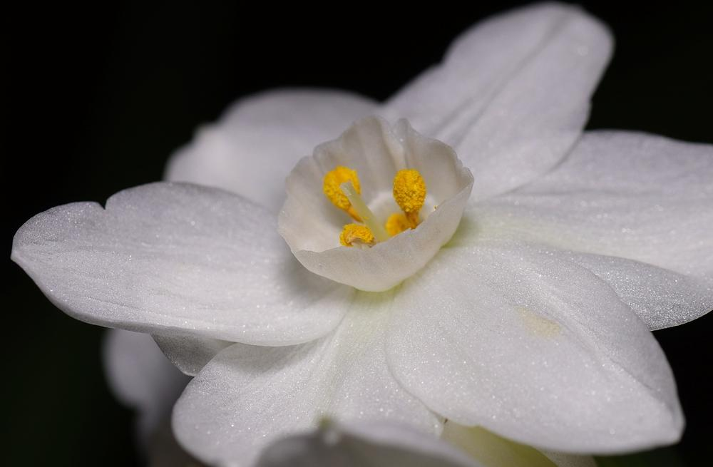Photo of Tazetta Daffodil (Narcissus 'Nir') uploaded by dirtdorphins