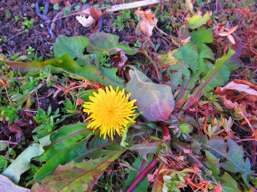 Photo of Dandelion (Taraxacum officinale) uploaded by jmorth