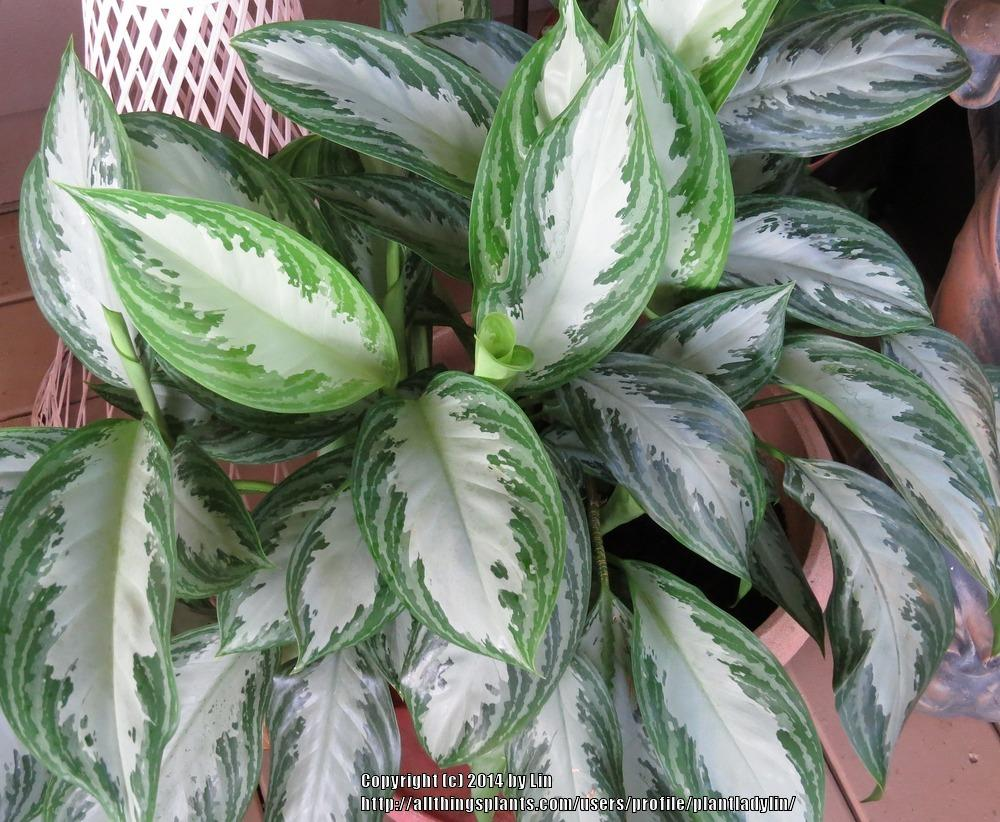 Photo of Chinese Evergreen (Aglaonema 'Silver Bay') uploaded by plantladylin