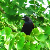 Location: central IllinoisDate: 2012-07-05w/ a Red Winged Blackbird
